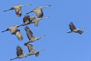 Sandhill Cranes in Flight, Goose Pond Wildlife Area, Linton, Indiana by Rona Schwarz