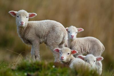 Little Lambs by Ronai Rocha