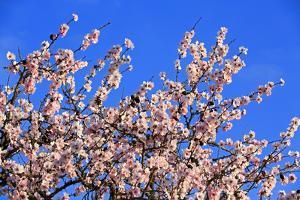 Blossoming Almond Tree, Prunus Dulcis, Is Blossoming, Rhinland Palatinate, Gimmeldingen by Ronald Wittek