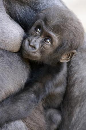 Gorilla Baby, Gorilla Mother by Ronald Wittek