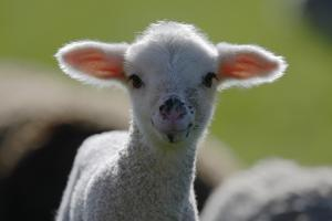 Merino Sheep, Lamb, Close-Up by Ronald Wittek
