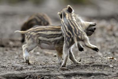 Wild Boar Shoats, Playing by Ronald Wittek