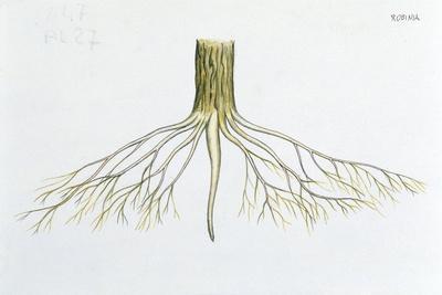 https://imgc.allpostersimages.com/img/posters/roots-of-black-locust-robinia-pseudoacacia_u-L-PVECTE0.jpg?p=0