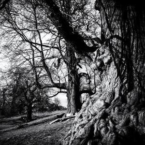 Old Royal Trees by Rory Garforth