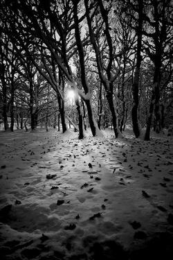 Snow Trees by Rory Garforth