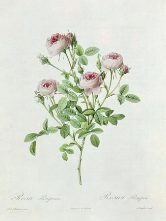 https://imgc.allpostersimages.com/img/posters/rosa-pomponia-from-les-roses-by-claude-antoine-thory_u-L-P54D5D0.jpg?artPerspective=n