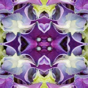Hydrangea by Rose Anne Colavito