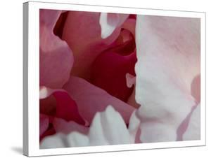 Peony Diptych by Rose Anne Colavito