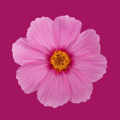 Open Pink Cosmos Flower on a Dark Pink Background by Rosemary Calvert