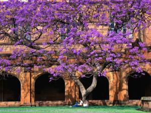 A Large Jacaranda Tree in the Corner of the Main Building Quadrangle at Sydney University by Ross Barnett