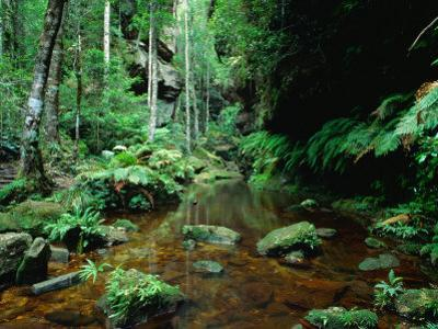 Temperate Rainforest at Greaves Creek, Feature of Grand Canyon Walk Blue Mountains NP, Australia by Ross Barnett