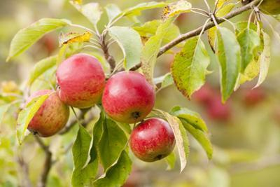 Apples (Malus Domestica) Growing in Traditional Orchard at Cotehele Nt Property, Cornwall, UK by Ross Hoddinott
