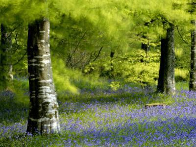 Beech and Bluebell Woodland at Lanhydrock, Cornwall, UK by Ross Hoddinott