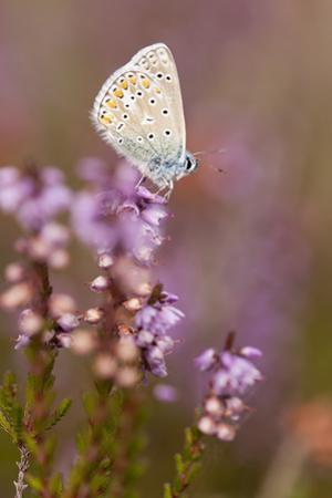 Common Blue Butterfly (Polyommatus Icarus), Resting on Flowering Heather, Dorset, England, UK by Ross Hoddinott