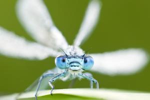 Common Blue Damselfly (Enallagma Cyathigerum), Tamar Lake, Cornwall, England, UK. June 2011 by Ross Hoddinott