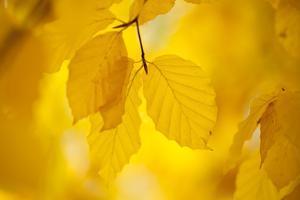 European Beech Tree {Fagus Sylvatica} Yellow Leaves in Autumn, Sence Valley, Leicestershire, UK by Ross Hoddinott