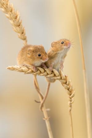 Harvest Mice (Micromys Minutus) On Wheat Stems, Devon, UK by Ross Hoddinott