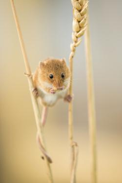 Harvest Mouse (Micromys Minutus) On Wheat Stem Feeding, Devon, UK, July. Captive by Ross Hoddinott