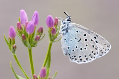Large Blue Butterfly (Maculinea Arion) on a Common Centaury Flower, Somerset, England, UK by Ross Hoddinott