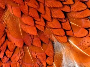 Male Pheasant Feathers, Devon, UK by Ross Hoddinott