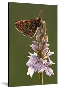 Marsh Fritillary Butterfly {Euphydrayas Aurinia} on Spotted Heath Orchid, Holsworthy, Devon, UK by Ross Hoddinott