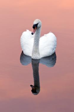 Mute Swan (Cygnus Olor) on Water with Reflection, Shapwick Heath Nr, Somerset Levels, Somerset, UK by Ross Hoddinott