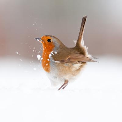 Robin (Erithacus Rubecula) Displaying in Snow, Nr Bradworthy, Devon, UK