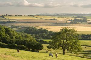 Rural view of countryside with grazing cattle, Somerset, UK by Ross Hoddinott