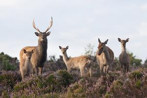 Sika Deer (Cervus Nippon), Stag, Hind and Young, Amongst Flowering Heather, Dorset, UK, August by Ross Hoddinott