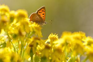 Small Copper (Lycaena Phlaeas) Butterfly Resting on Common Ragwort (Senecio Jacobaea) Dorset, UK by Ross Hoddinott