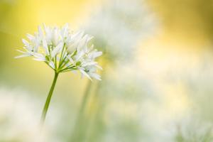 Wild garlic close-up, Combe Valley, Cornwall, UK by Ross Hoddinott