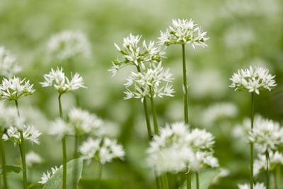 Wild Garlic - Ramsons (Allium Ursinum) Flowering in Woodland, Cornwall, England, UK, May by Ross Hoddinott