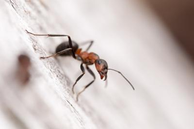 Wood Ant (Formica Rufa) Arne Rspb Reserve, Dorset, England, UK, July. 2020Vision Book Plate by Ross Hoddinott