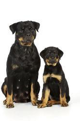 Affordable Rottweiler Posters For Sale At Allposterscom