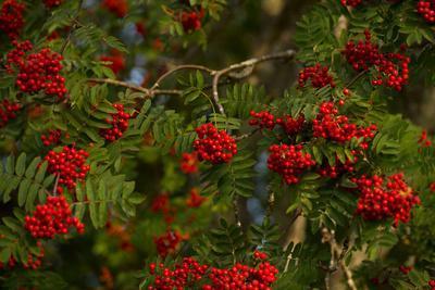 https://imgc.allpostersimages.com/img/posters/rowan-berries-branches-full-of-red-berries_u-L-Q1EXRKT0.jpg?artPerspective=n
