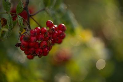 https://imgc.allpostersimages.com/img/posters/rowan-berries-in-autumn-with-colorful-background-with-bokeh_u-L-Q1EXYKB0.jpg?artPerspective=n