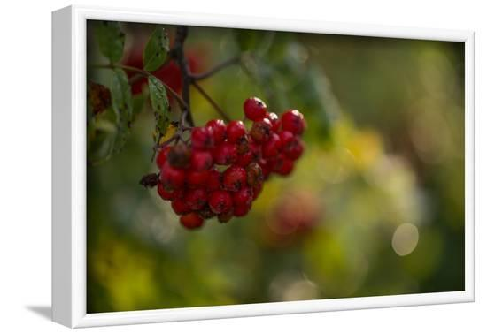 Rowan berries in autumn with colorful background with bokeh-Paivi Vikstrom-Framed Photographic Print