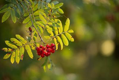 https://imgc.allpostersimages.com/img/posters/rowan-branch-with-red-berries-in-autumn-sunlight_u-L-Q1EXYC60.jpg?artPerspective=n