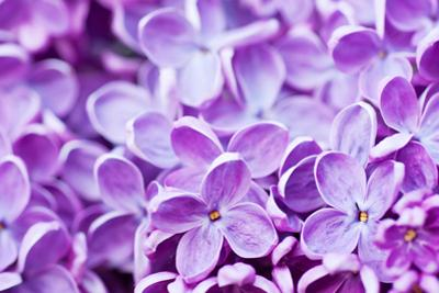 Lilac Flowers Background by Roxana_ro