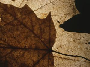 A Close View of a Maple Leaf in Fall Colors by Roy Gumpel