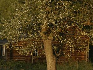 A Flowering Tree Standing Near a Barn by Roy Gumpel