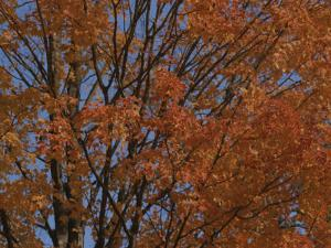 A Sugar Maple Blazes with Fall Color by Roy Gumpel