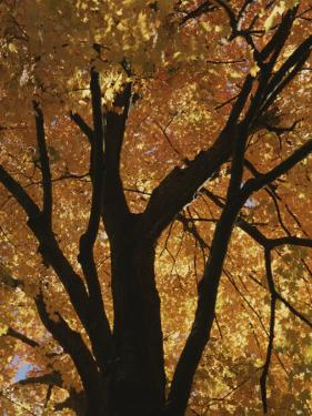 Autumn Color Blazes in a Maple Tree by Roy Gumpel