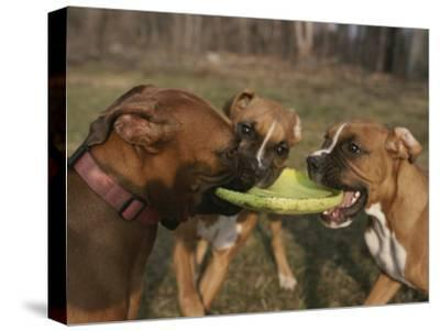 Three Boxer Dogs Play Tug-Of-War with a Frisbee by Roy Gumpel