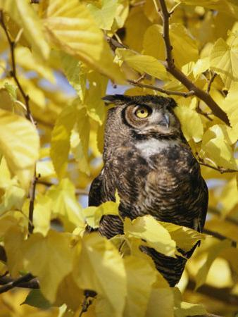 A Captive Great Horned Owl is Perched in a Tree by Roy Toft