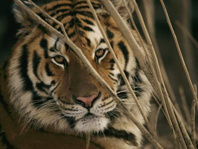 A Captive Tiger Shows a Formidable Expression by Roy Toft