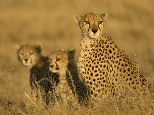 A Cheetah Mother and Her Two Cubs Sitting in Grass (Acinonyx Jubatus) by Roy Toft