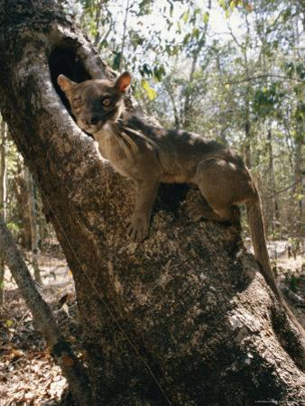 A Fossa Stands on a Tree Trunk by Roy Toft