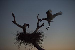 A Jabiru Stork, Jabiru Mycteria, Flying into its Nest by Roy Toft