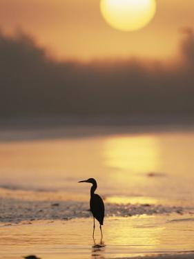 A Little Blue Heron Silhouetted on a Florida Beach at Sunrise by Roy Toft